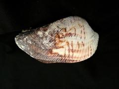 諾亞魁蛤 (Arca noae)