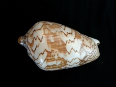舞袖渦螺 (Cymbiola nobilis)