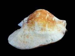 潤唇鳳凰螺 (Strombus latissimus)