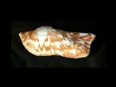 鷹翼魁蛤 (Arca navicularis)