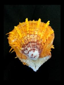 黃金海菊蛤 (Spondylus versicolor)