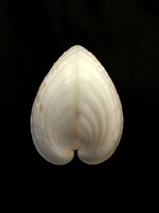 半心雞心蛤 (Lunulicardia hemicardia)