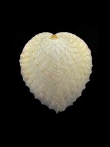 心形雞心蛤 (Corculum cardissa)