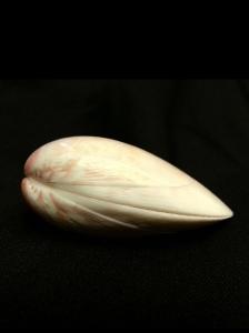 金華鳥尾蛤 (Laevicardium attenuatum)
