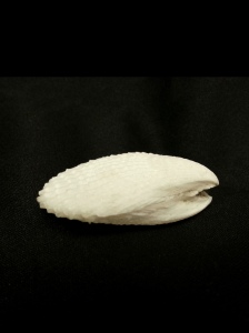 大白狐蛤 (Lima vulgaris)