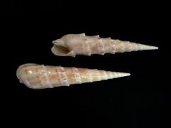 花牙筍螺 (Terebra crenulata)