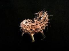 帝王棘冠螺 (Angaria delphinus f. melanacantha)