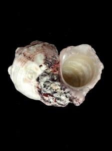 棘冠螺 (Angaria delphinus)