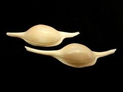 長菱角螺 (Volva volva)