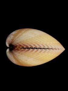 長鳥尾蛤 (Vasticardium elongatum)