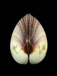 大簾蛤 (Periglypta magnifica)