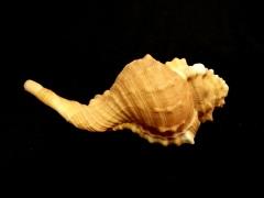 大象法螺 (Cymatium pyrum)