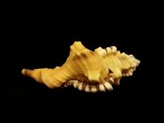 象鼻法螺 (Cymatium lotorium)