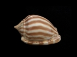 條紋鬘螺 (Phalium flammiferum)
