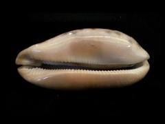 叢雲寶螺 (Cypraea testufinaria)
