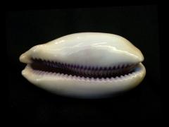 紫口寶螺 (Cypraea carneola)