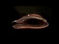 酒桶寶螺 (Cypraea talpa)
