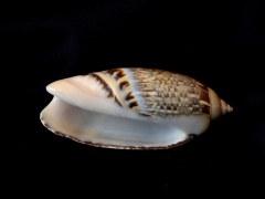 尖頭榧螺 (Agaronia gibbosa)