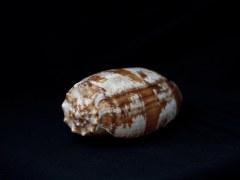 殺手芋螺 (Conus geographus)