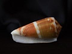 鬥士芋螺 (Conus gladiator)