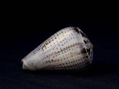 海綠芋螺 (Conus glaucus)