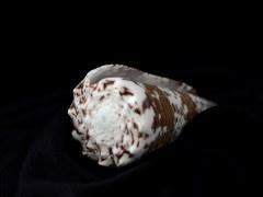 帝王芋螺 (Conus imperialis)