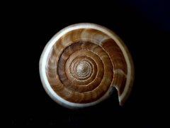 黑線芋螺 (Conus figulinus)
