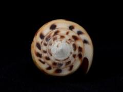Conus planorbis f. vitulinus