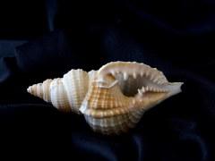 毛扭法螺 (Distorsio reticularis)