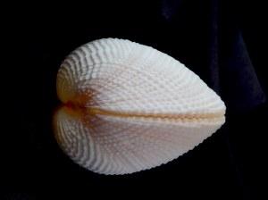 花籃蛤 (Fimbria fimbriata)