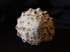 花斑長旋螺 (Fusinus nicobaricus)