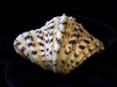 菱硨磲蛤 (Hippopus porcellanus)