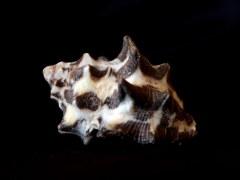 角岩螺 (Mancinella tuberosa)