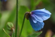 Meconopsis grandis 'Branklyn'
