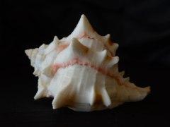 紅甘藍骨螺 (Phyllonotus brassica)