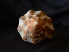 光滑赤旋螺 (Pleuroploca glabra)