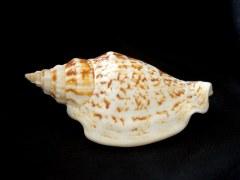 黑痣鳳凰螺 (Strombus variabilis)
