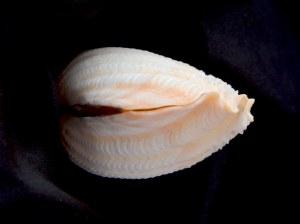 番紅硨磲蛤 (Tridacna crocea)