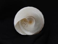 細紋鐘螺 (Trochus hanleyanus)