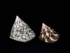 馬蹄鐘螺 (Trochus Niloticus Linnaeus)
