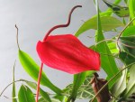Anthurium scherzerianum 'Flamingo Flower'