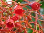 Brachychiton acerifolius 'Flame Tree'