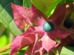 Clerodendrum fortunatum 'Glorybower'