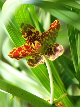 Grammatophyllum speciosum 'Tiger Orchid'