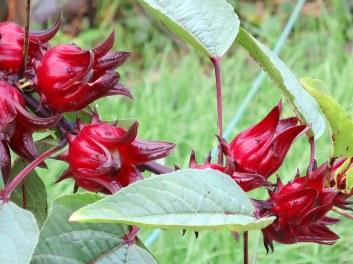 Hibiscus sabdariffa Linn. 'Rozelle'