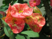Euphorbia x lomi 'Crown-of-thorns'