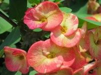 Euphorbia x lomi 'Crown-of-thorns'