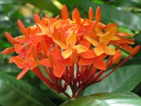 Ixora Siamensis