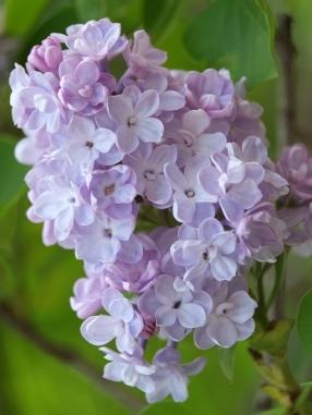Phlox paniculata 'Violet-Flame'