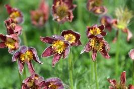 Pulsatilla vulgaris 'Pasque Flower'